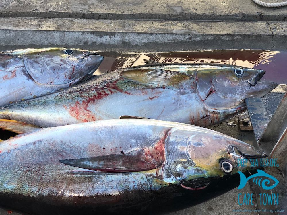 longfin tuna cape town fishing charters 1